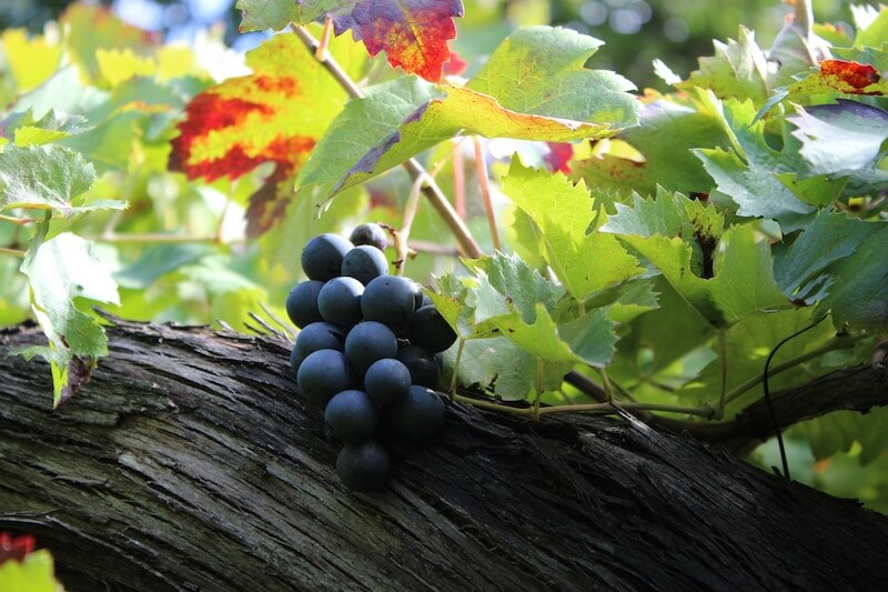 Grapes on the vine - Wines Compania - Delectable Destinations Culinary Tours - Carol Ketelson