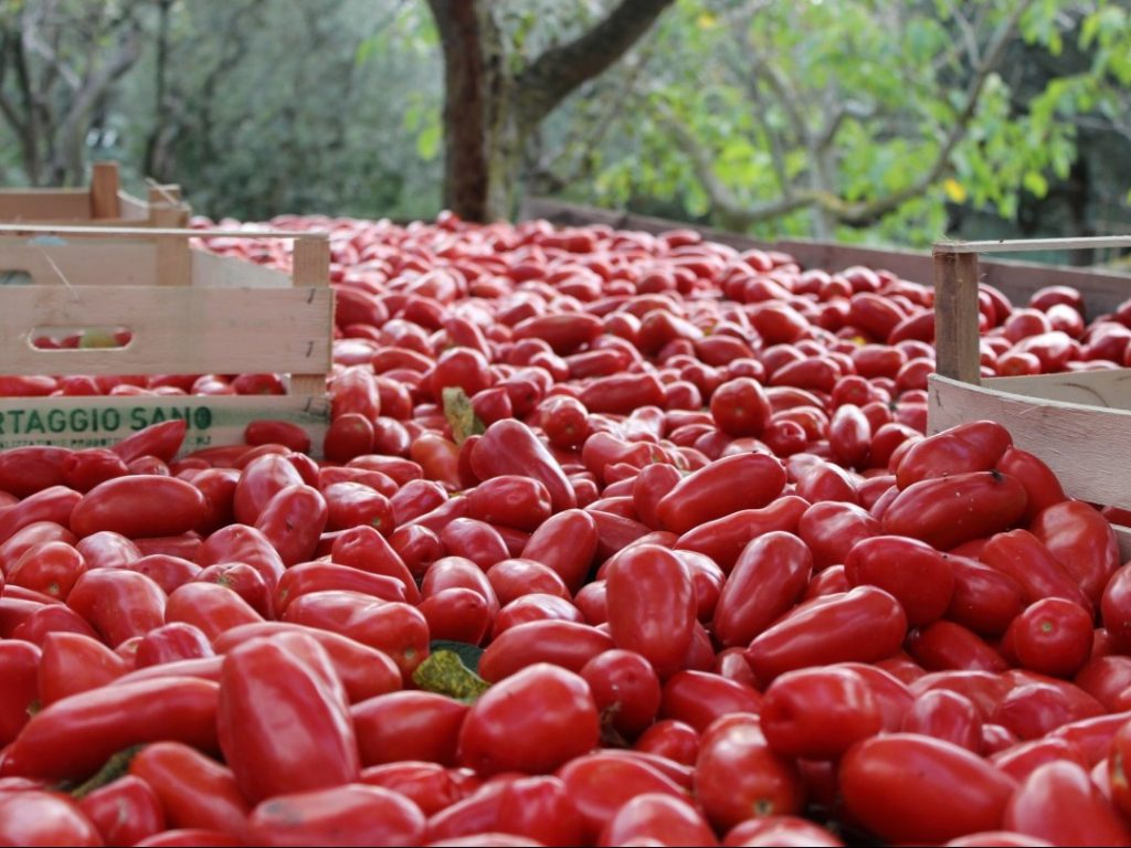 Tomatoes for sauce Amalfi Coast Italy Carol Ketelson Delectable Destinations Culinary Tours