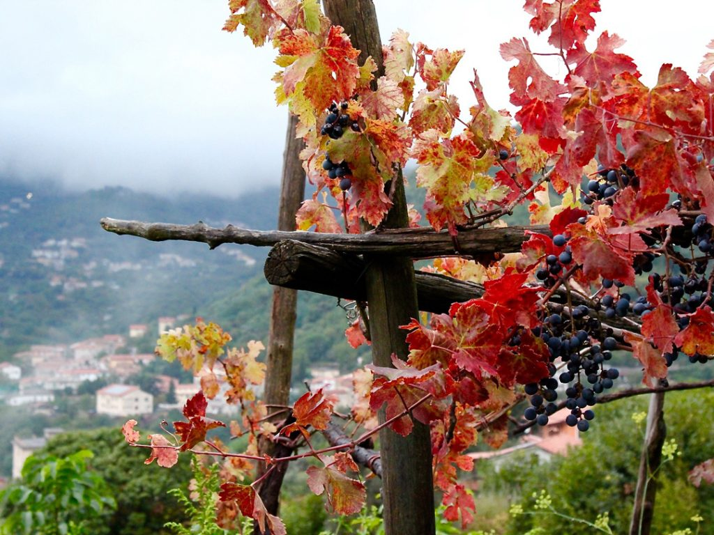 Wine grape vines Amalfi Coast Italy Carol Ketelson Delectable Destinations Culinary Tours