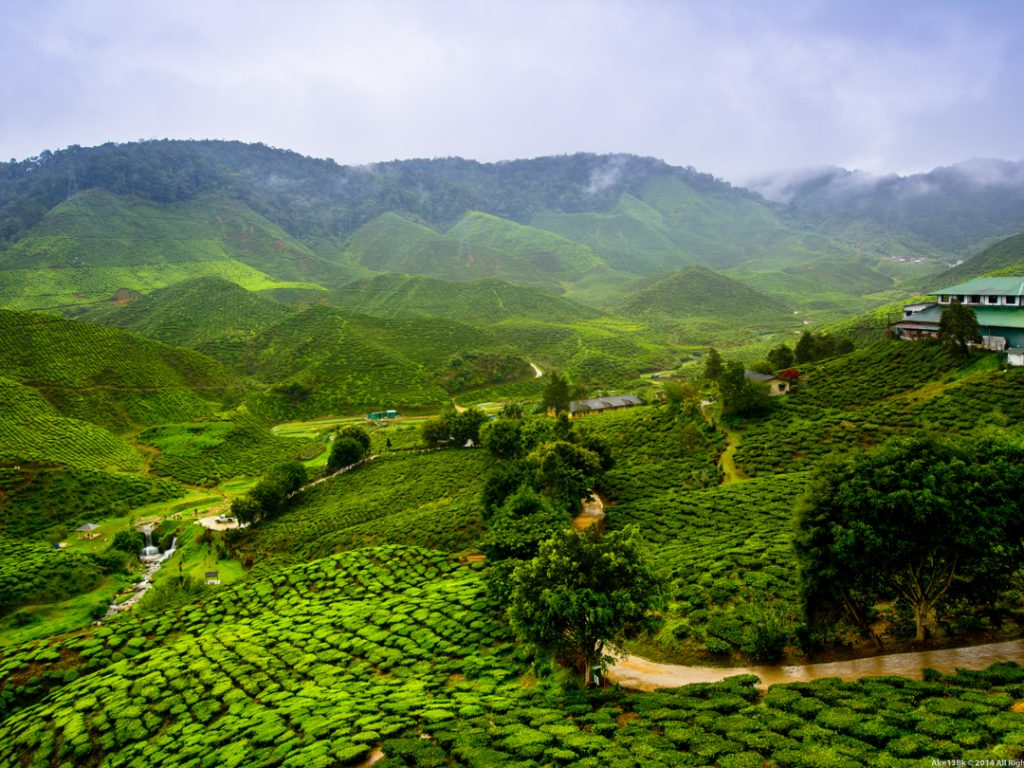 Glenburn Tea Estates Darjeeling India Carol Ketelson Delectable Destinations Culinary Tours