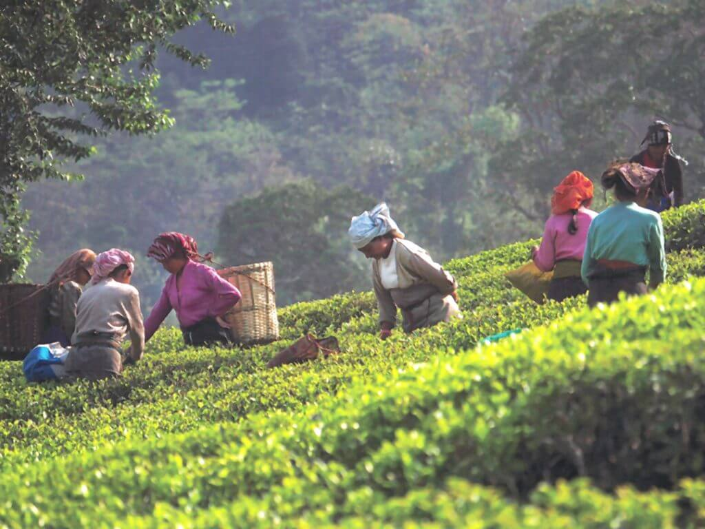 Tea pickers Glenburn Tea Estate Delectable Destinations Culinary Tour India