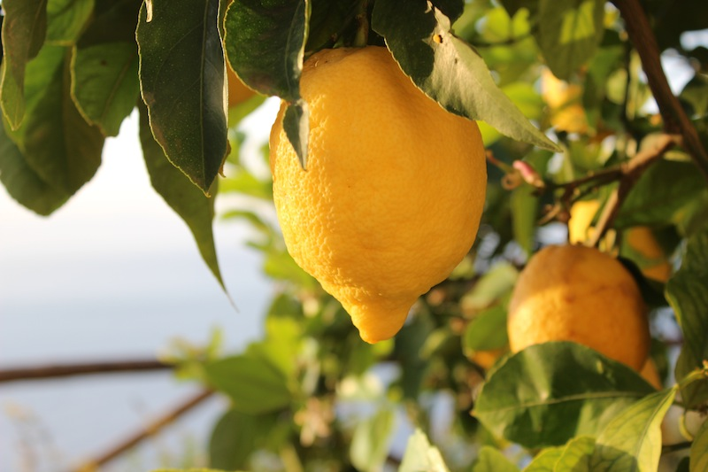 Lemon Trees in Ravello, Italy - Lemons lemon trees limoncello - Delectable Destinations Culinary Tours - Carol Ketelson