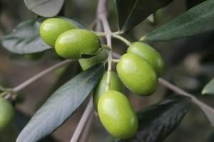 Tuscan Olives,Villa La Quercia, Impruneta, Italy - Tuscan Olive Oil Harvest - Delectable Destinations Culinary Tours - Delecatble Destinations