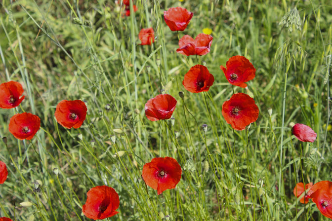The brilliant colors of the Spring Poppies - Touring Tuscany Culinary Tours - Delectable Destinations - Carol Ketelson
