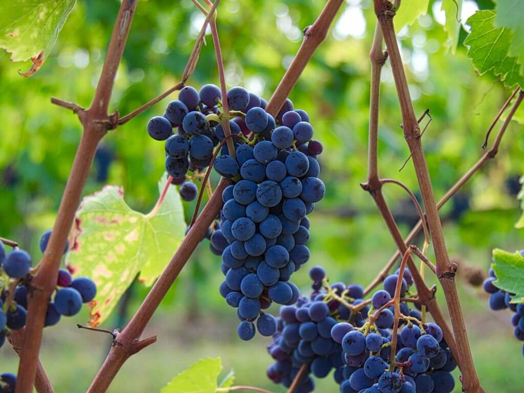Tuscany Wine Tours Harvest Chianti Italy Carol Ketelson Delectable Destinations Culinary Tours